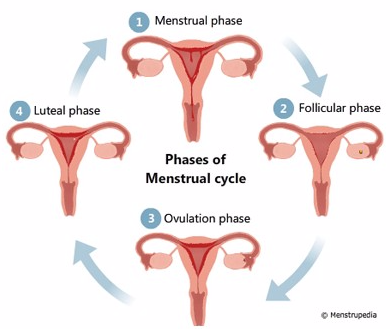 Phases of Menstrual Cycle